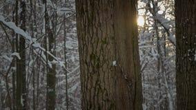 De sneeuw valt langzaam tegen de achtergrond van een boomboomstam en de het plaatsen zon stock video