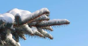 De sneeuw valt op nette Sneeuwdalingen van een pijnboomtak in de bos Langzame motie Een tak van sparren op een zonnige ijzige de  stock videobeelden