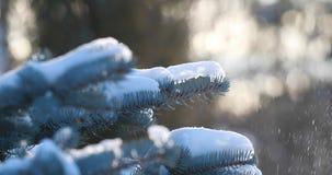 De sneeuw valt op nette Sneeuwdalingen van een pijnboomtak in de bos Langzame motie Een tak van sparren op een zonnige ijzige de  stock video