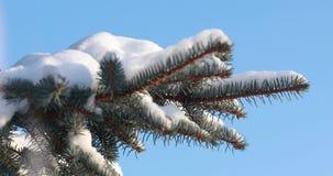 De sneeuw valt op nette Sneeuwdalingen van een pijnboomtak in de bos Langzame motie Een tak van sparren op een zonnige ijzige de  stock footage