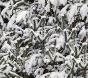 De sneeuw van de winter op pijnboom Stock Afbeelding
