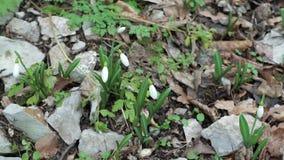 De sneeuwklokjes van de lente stock videobeelden