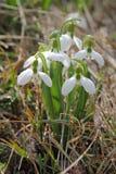 De sneeuwklokjes zijn bloeiend in een bos Royalty-vrije Stock Foto