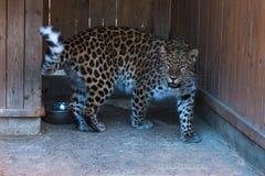 De sneeuwluipaard van het Verre Oosten bij de dierentuin royalty-vrije stock fotografie