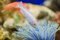 De Sneeuwprins van vissencichlid in het aquarium, Pseudotropheus Socolofi royalty-vrije stock afbeeldingen