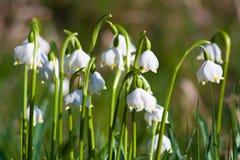 De sneeuwvlok van de lente Stock Foto's