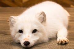 De sneeuwwolf, hond in puppydag isoleert op achtergrond royalty-vrije stock afbeelding