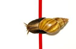 De snelle slak kruist de afwerkingsband op een witte achtergrond Stock Fotografie