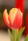 De snijbloem van de tulp Stock Afbeelding