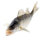 De snoekbaarzen van vissen Stock Foto's