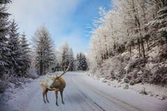De snow-covered weg en de rode herten Royalty-vrije Stock Afbeelding