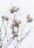 _5 de Snowberries (Symphoricarpos) Image libre de droits