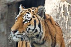 De snuit dichte omhooggaand van de tijger Stock Foto