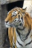 De snuit dichte omhooggaand van de tijger Royalty-vrije Stock Afbeelding