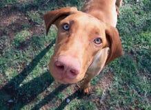 De snuit van de hond Stock Foto