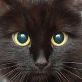 De snuit van een zwarte kat Stock Foto