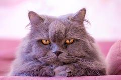 De snuit van grijze grote langharige Britse kat ligt op een roze bank De aanwinst van het conceptengewicht tijdens de Nieuwjaarva stock afbeelding