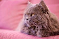 De snuit van grijze grote langharige Britse kat ligt op een roze bank De aanwinst van het conceptengewicht tijdens de Nieuwjaarva stock foto's