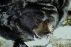 De snuit van grote kwade bruin draagt behandeld met het dikke laagsluiten stock foto's