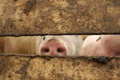 De snuit van het varken Stock Afbeelding