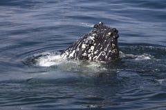 De snuit van Umpbackwalvissen stickingt uit de water zonnige dag Stock Foto