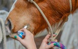 De som avmaskar en häst arkivfoton