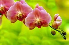 De sonate van orchideeën stock afbeeldingen