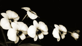 De Sonate van orchideeën Stock Afbeelding