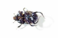 De soort Scarabaeus. Stock Afbeeldingen
