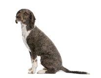 De Spaanse hond van het waterspaniel, 3 jaar oud, het zitten. Royalty-vrije Stock Afbeeldingen