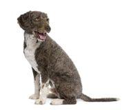 De Spaanse hond van het waterspaniel, 3 jaar oud, het zitten. Stock Fotografie
