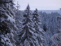 De spar van het de winterlandschap Stock Foto's
