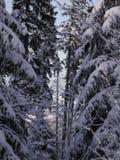 De spar van het de winterlandschap Royalty-vrije Stock Afbeeldingen