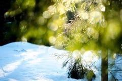 De spar vertakt zich fonkelend op de zon in ijsdruppeltjes Stock Afbeeldingen