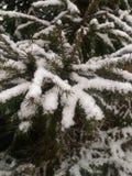 De sparren zijn behandeld met sneeuw stock foto