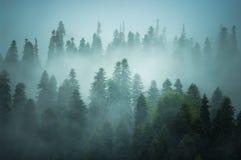De sparren zijn in mist Royalty-vrije Stock Foto's