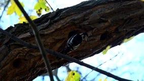 De specht met witte rug zoekt oud in een holte op een boom en vliegt dan weg stock footage