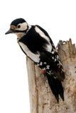 De specht van de vogel Stock Afbeeldingen