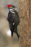 De Specht van Pileated (pileatus Dryocopus) Stock Foto