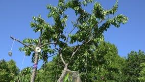 De spechtvogel pikt bessen op kersenboom met het hangen van CD-schijven 4K stock videobeelden