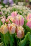 De speciale bloemen van papegaai selectie roze tulpen stock afbeelding