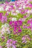 De species van Cleome zijn algemeen genoemd geworden spinbloemen, spininstallaties, spinonkruid, of bijeninstallaties Stock Fotografie