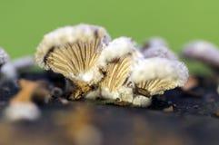De species van de Schizophyllumcommune van paddestoel met kieuwen royalty-vrije stock afbeelding