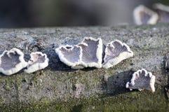 De species van de Schizophyllumcommune van paddestoel met kieuwen stock fotografie