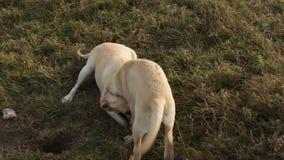 De speelse het puppyhond van Labrador leert hoe te om een geheel te graven stock video