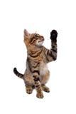 De speelse kat van Bengalen Royalty-vrije Stock Foto's
