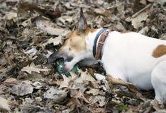 De spelen van de hondfox-terrier met de bal Royalty-vrije Stock Afbeeldingen