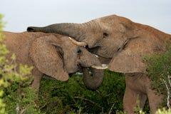 De Spelen van de olifant Royalty-vrije Stock Foto's