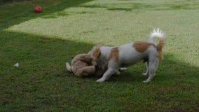 De spelen van een Jack Russell Terrier-puppyhond met een gevuld stuk speelgoed stock video