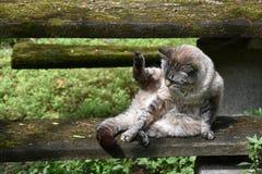 De spelen van de siamese-mengelingskat met zijn eigen staart royalty-vrije stock foto's
